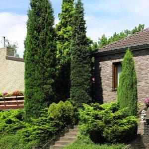 Conifers (incl. Ginkgo)